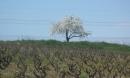 les cerisiers sont blancs